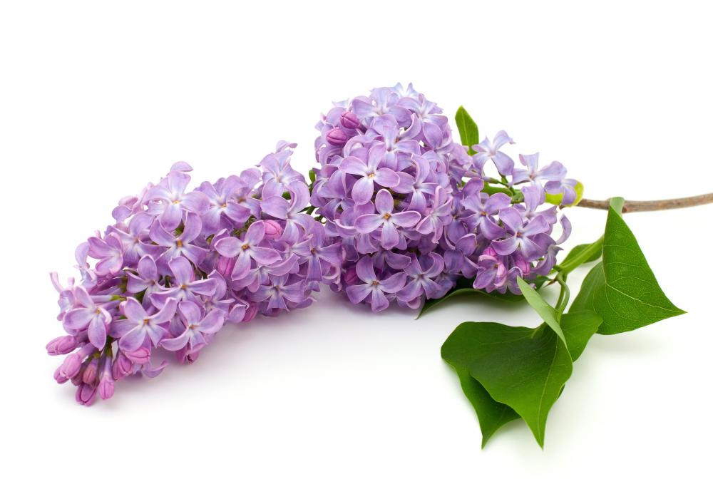 Lilac bushes bloom in mid to late spring.