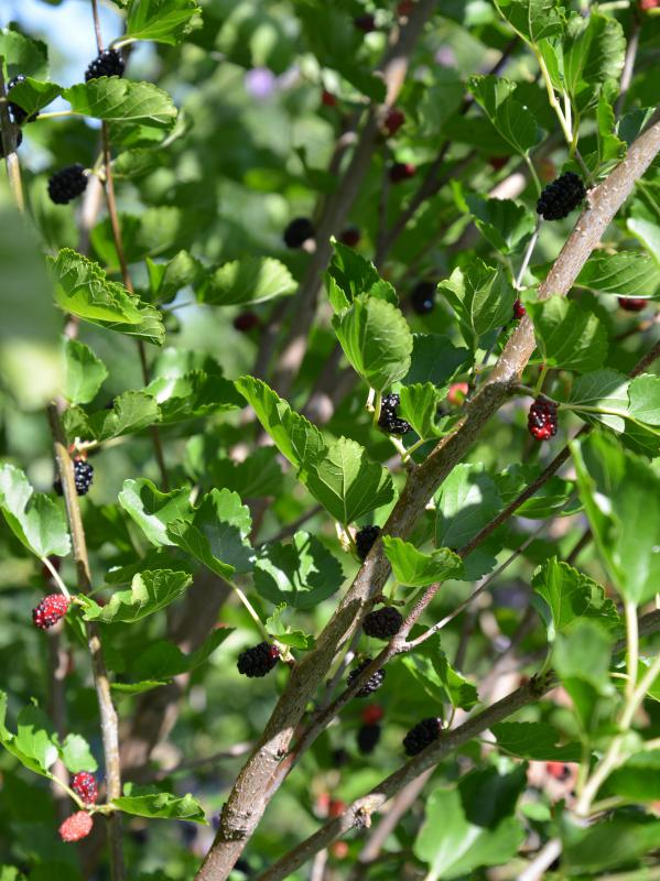 Mulberry trees may grow up to 40 feet high.