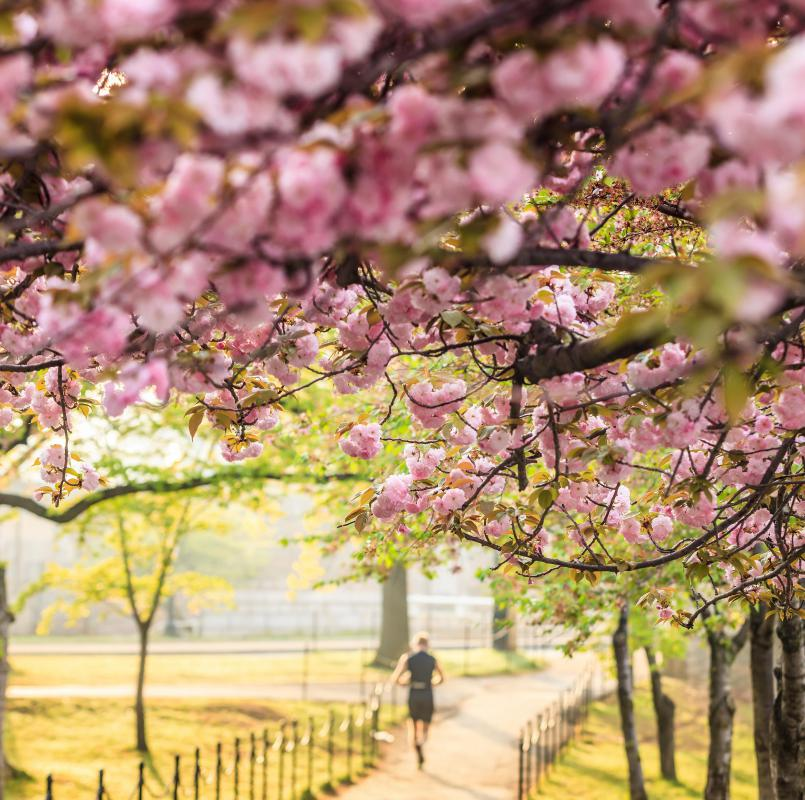 Viewing cherry blossoms -- a type of cherry tree that produces no fruit -- is a highly popular activity in Japan.