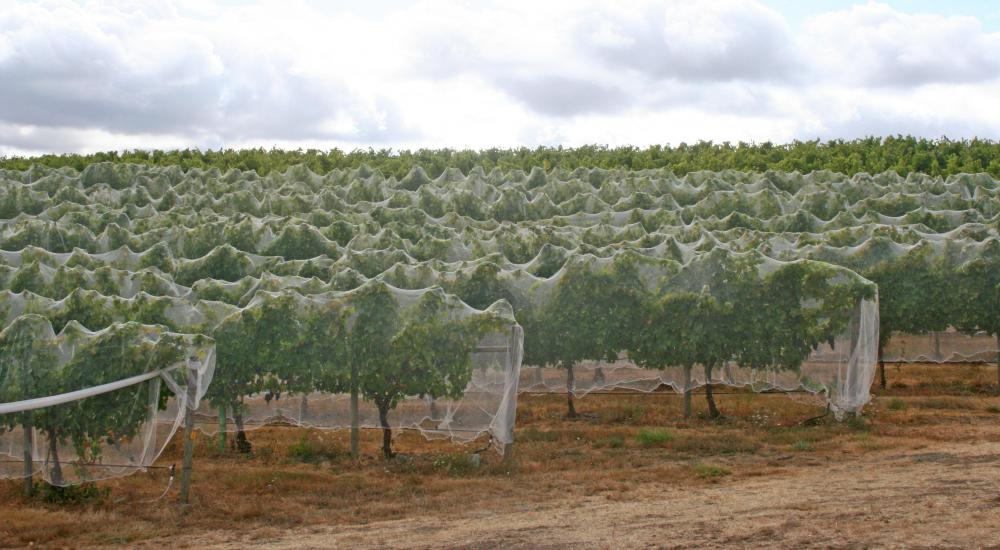 Netting placed over orchard plants will keep birds from eating the fruit.
