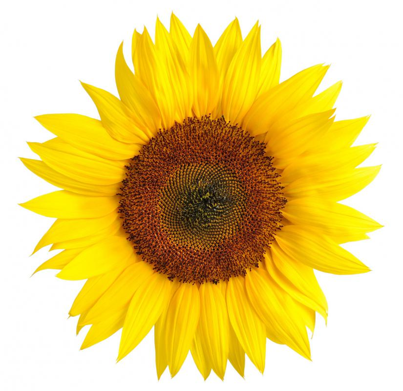 Sunflowers are modifications of a flower spike.